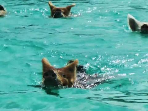 バハマの海でボートに乗ってたら豚が泳いで追いかけてきてビックリした!