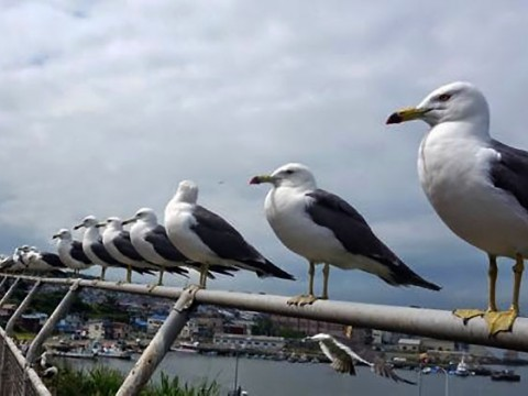 4万羽の海猫が群れをなす青森県八戸市の「蕪島」が凄い