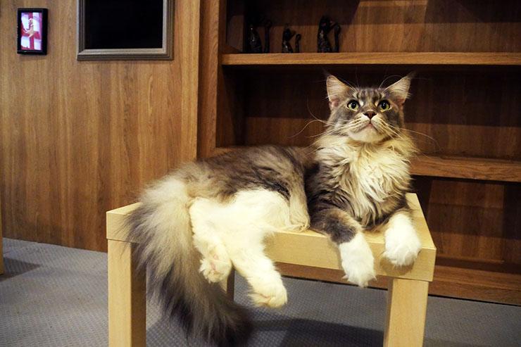 purr-cat-cafe-club5