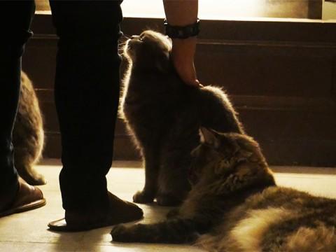 【萌え】海外からもファンが訪れるタイの猫カフェ「Purr Cat Cafe Club」が大絶賛される理由