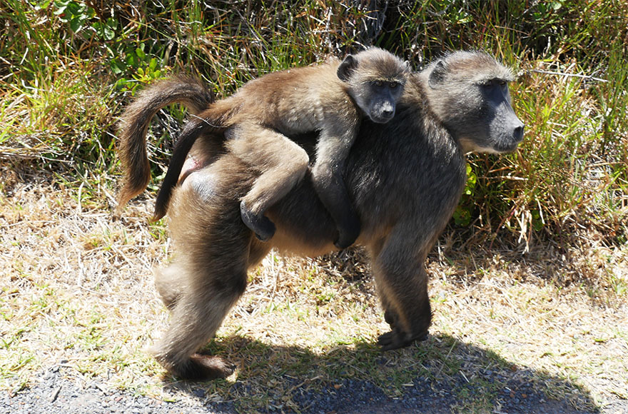 baboon-south-africa11