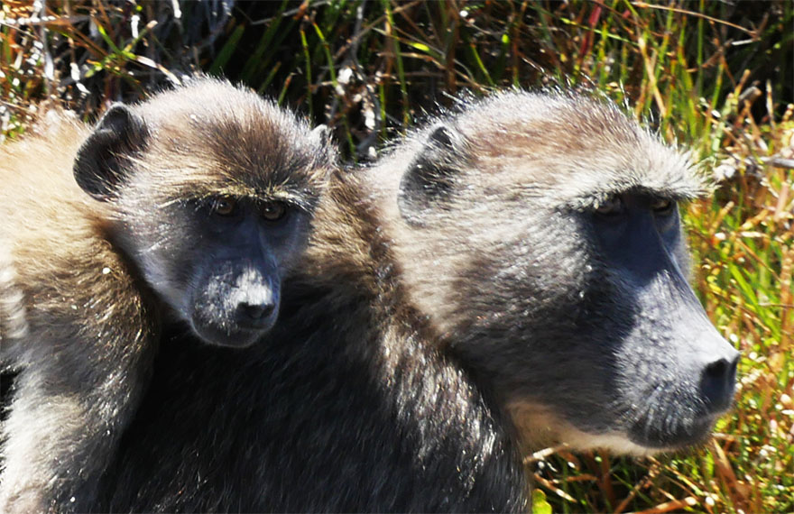 baboon-south-africa12