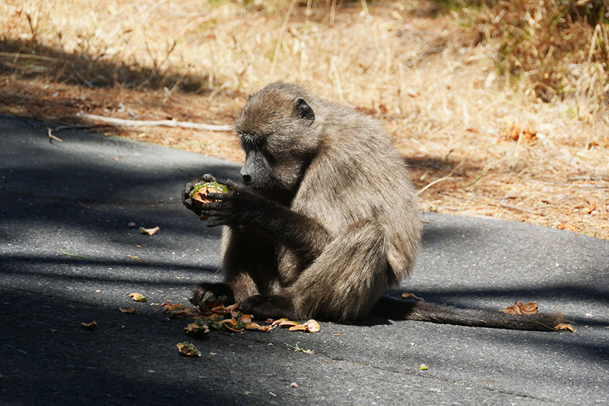 baboon-south-africa4