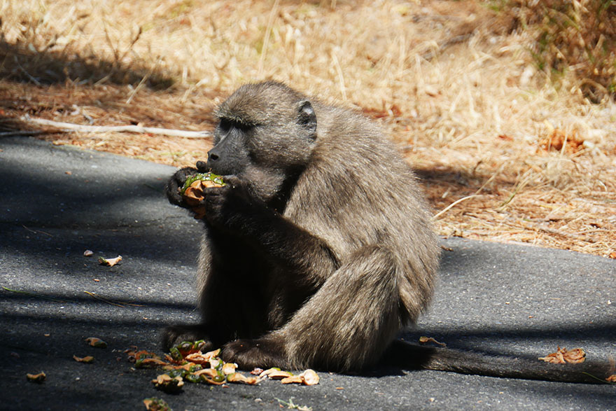 baboon-south-africa5