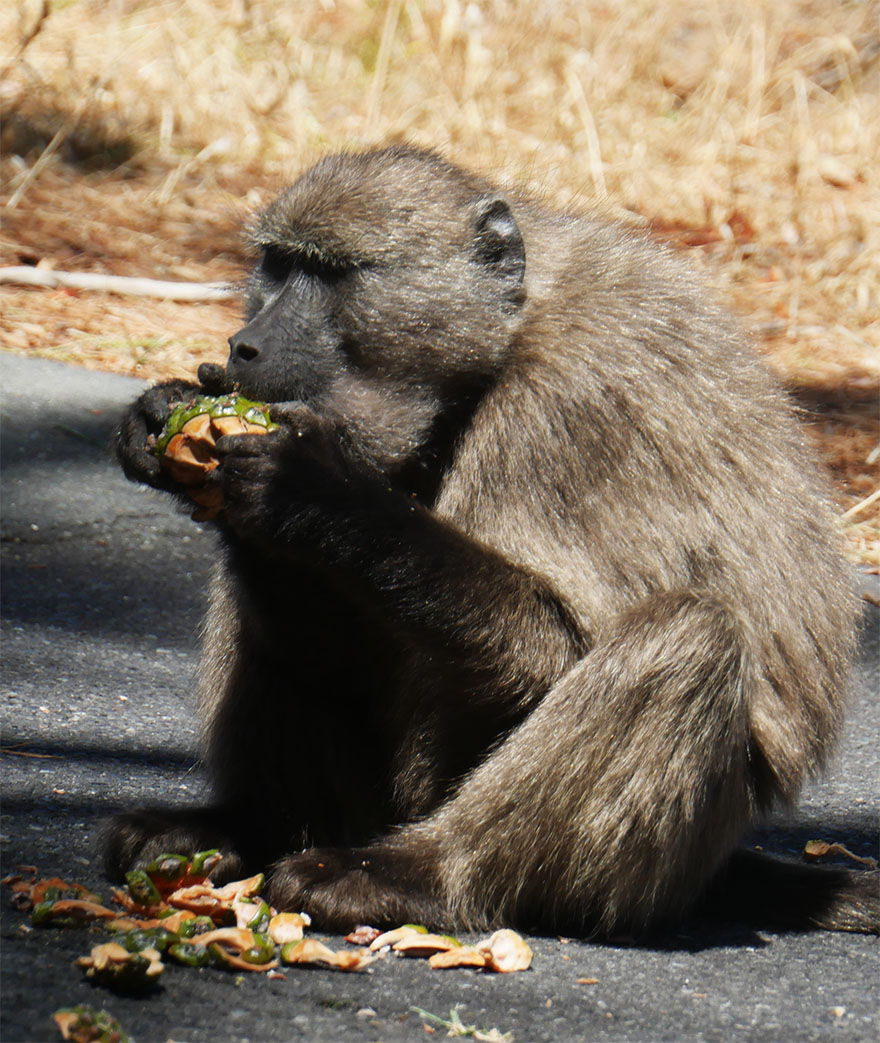 baboon-south-africa6