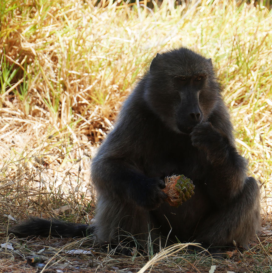 baboon-south-africa7