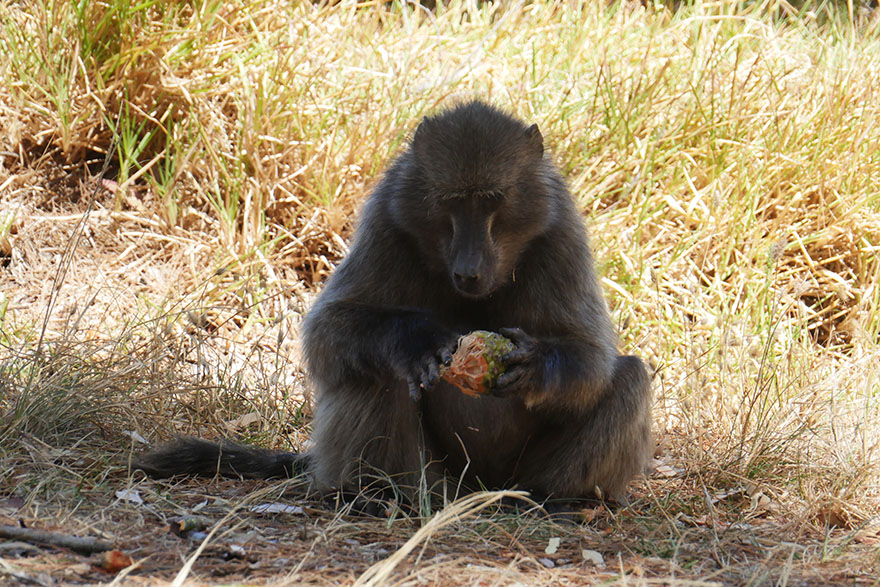 baboon-south-africa8