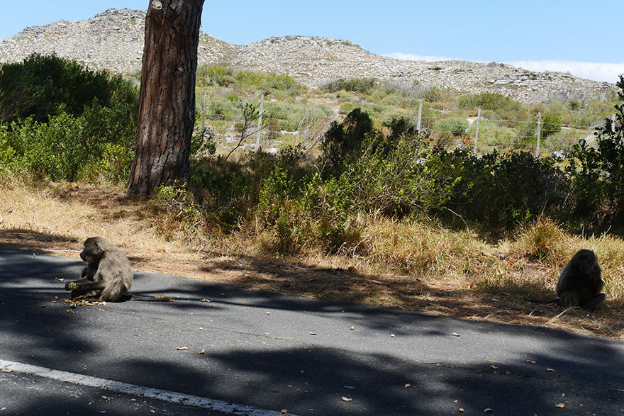 baboon-south-africa9