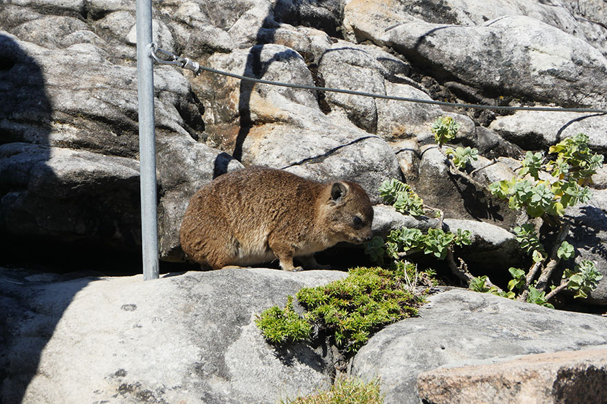cape-hyrax-south-africa