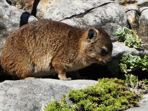 【最愛】南アフリカの激しく萌える動物! テーブルマウンテンに棲む「ケープハイラックス」に会いに行こう