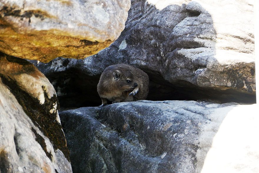 cape-hyrax-south-africa2