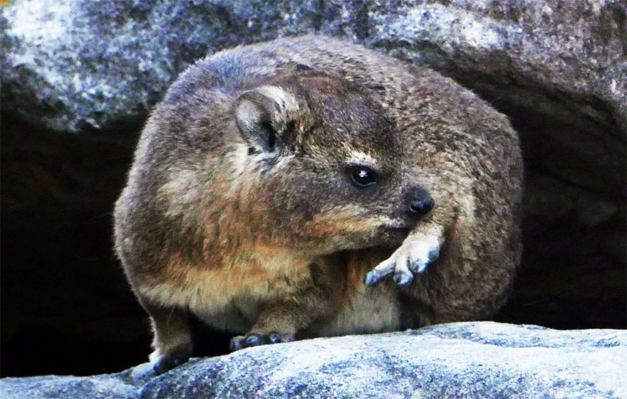 cape-hyrax-south-africa3