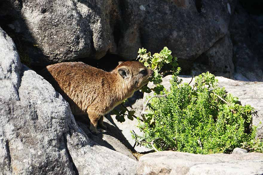 cape-hyrax-south-africa4