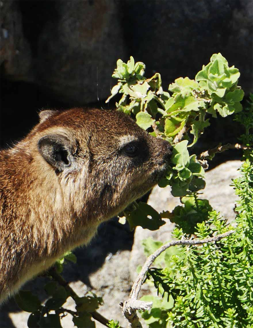 cape-hyrax-south-africa5