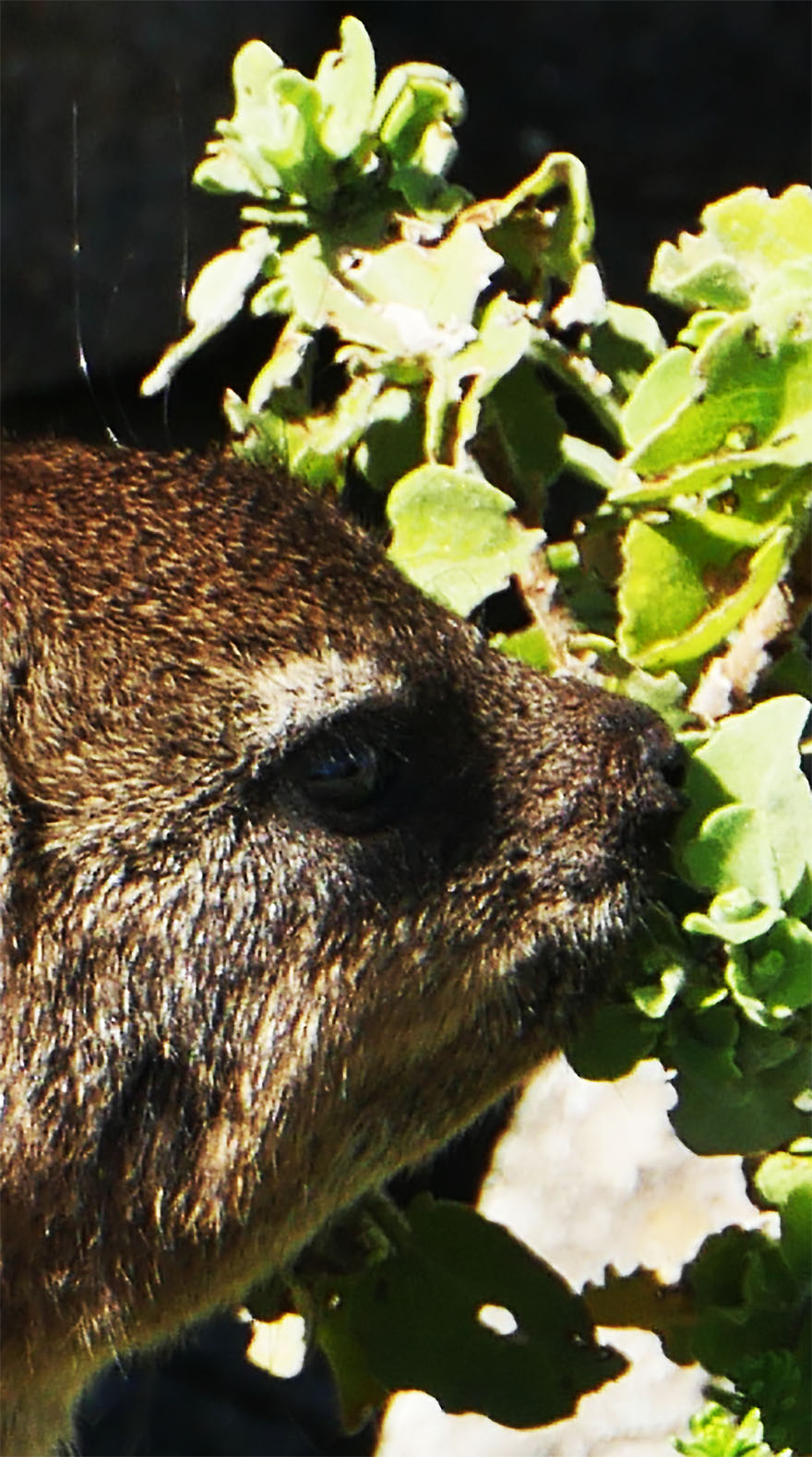 cape-hyrax-south-africa7