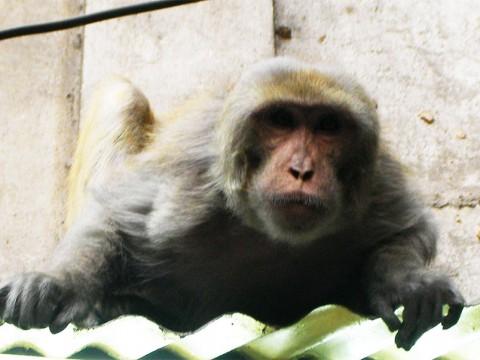 インドの首都・ニューデリーでは街のど真ん中に野生の猿が棲んでいる