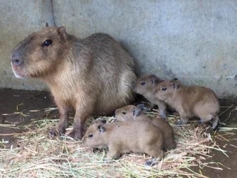 かわいい赤ちゃんカピバラ4頭が誕生! やったね伊豆シャボテン動物公園に家族が増えるよ♪