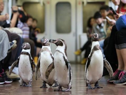 ペンギンが列車をペタペタと歩いてくれるよおおおおお! かわいすぎる「ペンギン列車」に乗ってみよう / 志摩マリンランド