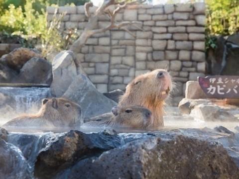 【萌え】温泉に浸かる赤ちゃんカピバラが超かわいい「元祖カピバラの露天風呂」開催