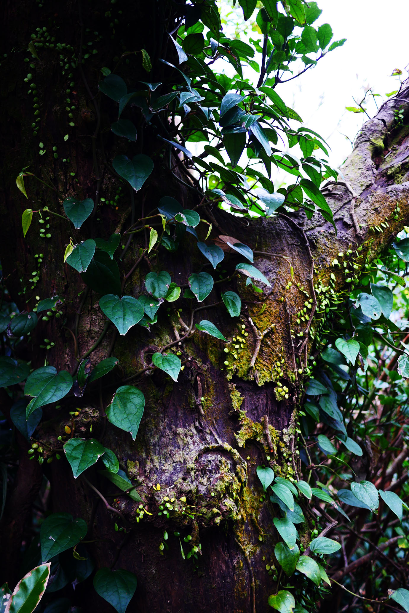 plants-of-aogashima12
