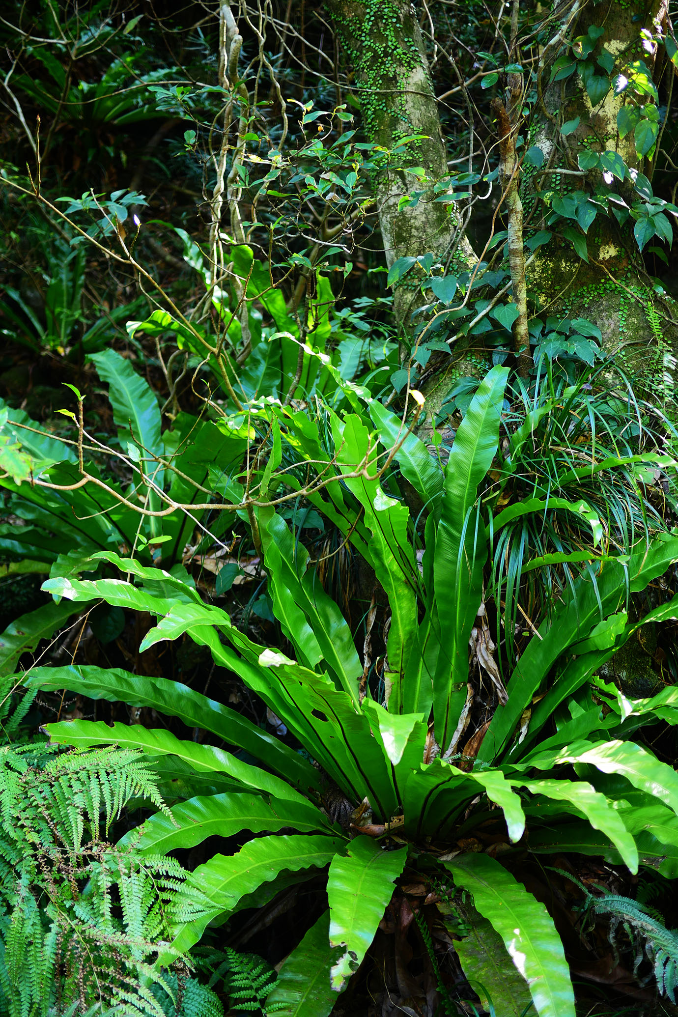 plants-of-aogashima13