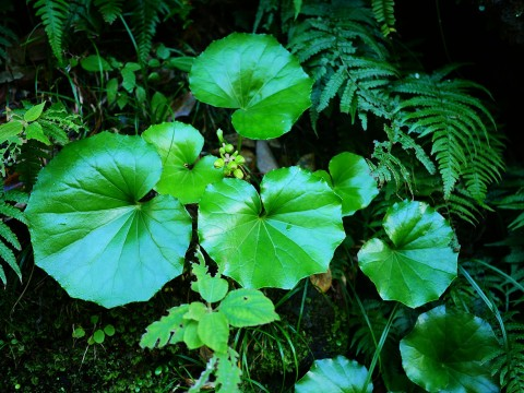 plants-of-aogashima14