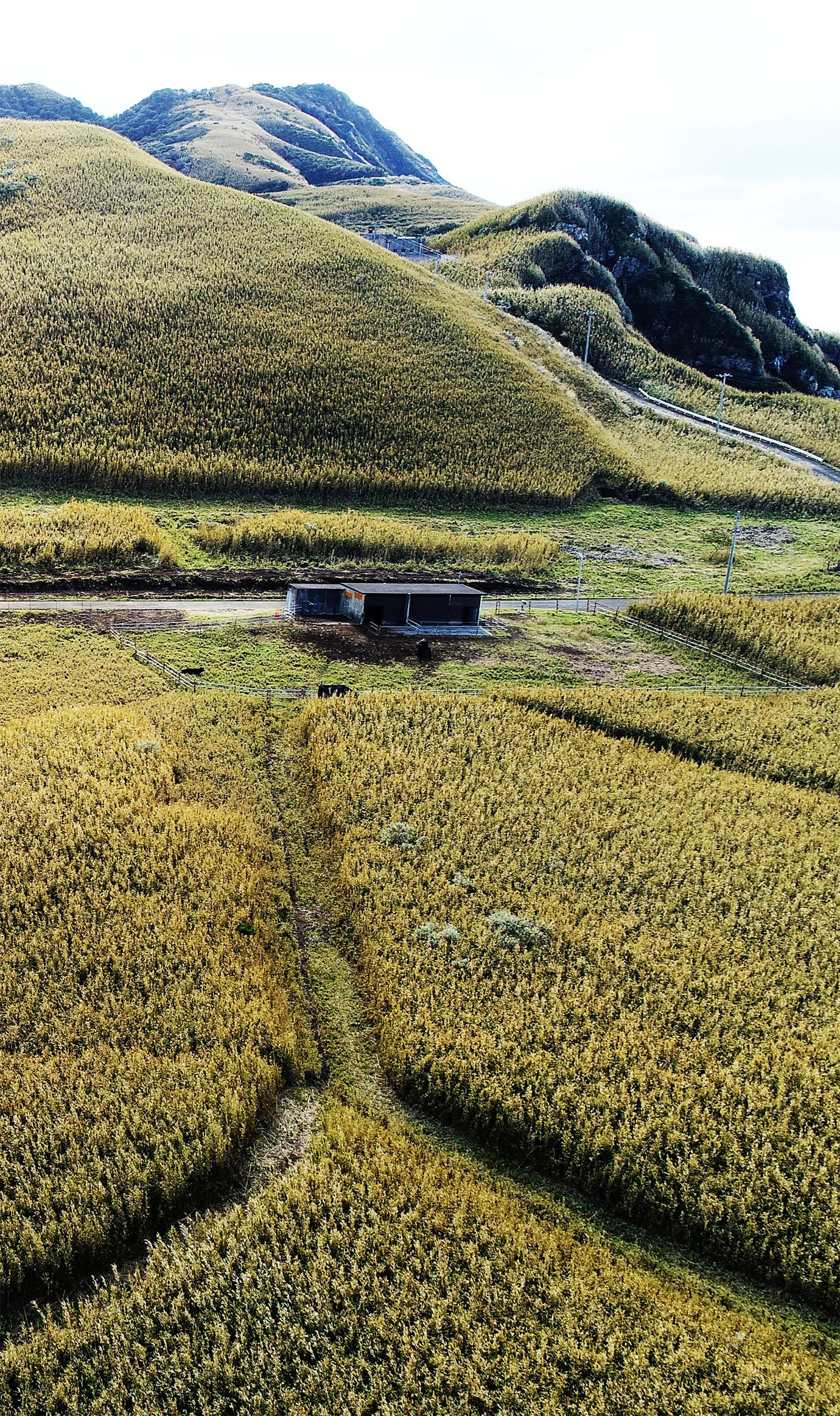 aogashima-ushi11